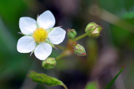 Wild Strawberry blossom Фото со стока