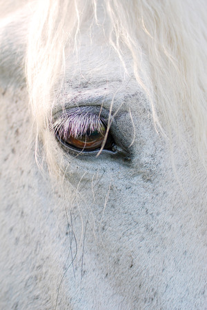 The gentle white horse