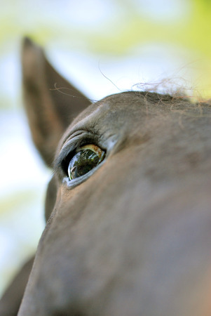 Up the nose view of a brown horse
