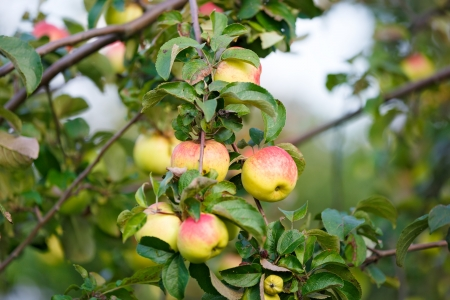 fruitful: apple on the branches of apple tree