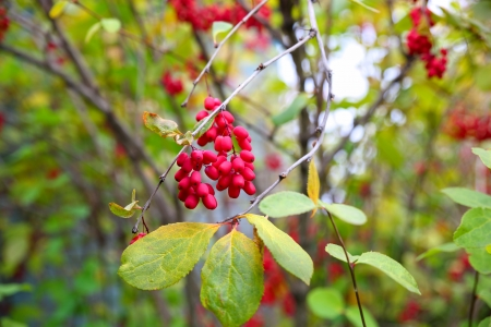A close up of the barberry (Berberis amurensis).