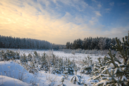 Winter pine forest in a frosty day photo
