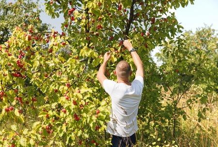 garth: guy harvested apples in garden  Stock Photo
