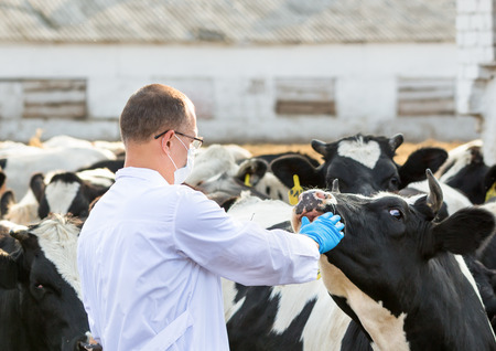 veterinarian inspects  cows on the farm