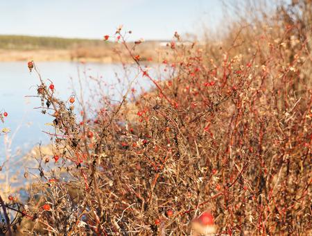 wild rose bush in winter