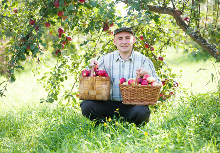 man in garden with  crop of red apples photo
