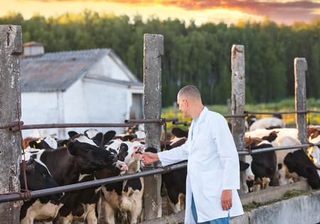 veterinarian man in a white coat on farm cow