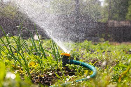 Watering garden equipment  sprinkler hose for irrigation plants.  Sprayer water on the vegetable.