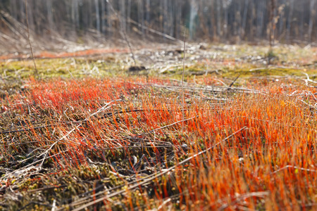 micro climate: Spring sprouts red moss closeup Stock Photo