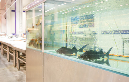 sturgeon: sturgeon in aquarium for sale to store