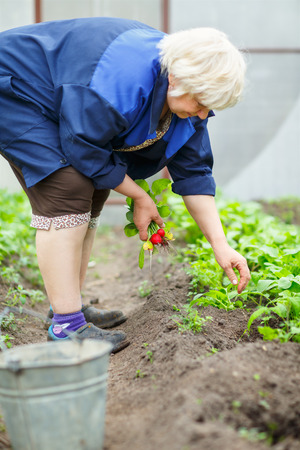 harvests: Adult woman harvests in  greenhouse