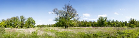 High-resolution panorama of a spring oak forest