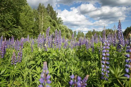 lupines: Wild lupines growing in Forest against sky