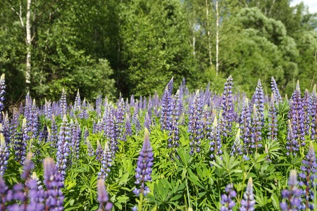 lupines: Wild lupines growing in Forest Stock Photo