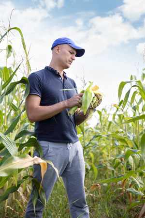 checking ingredients: Farmer in field checking on corncobs