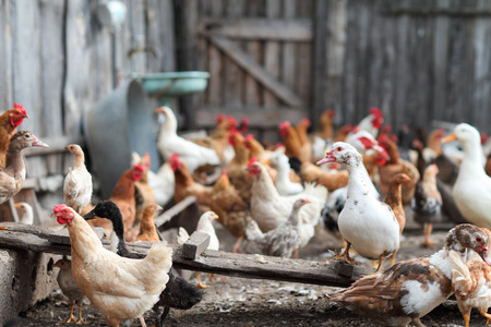 cackle: chickens and geese on the farm Stock Photo