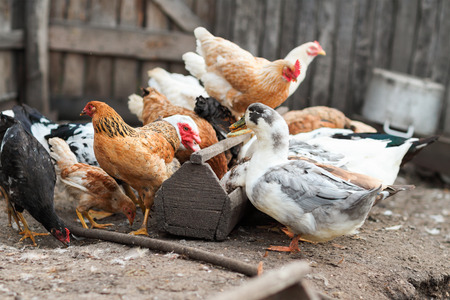 cackle: Eating geese and chicken on the farm