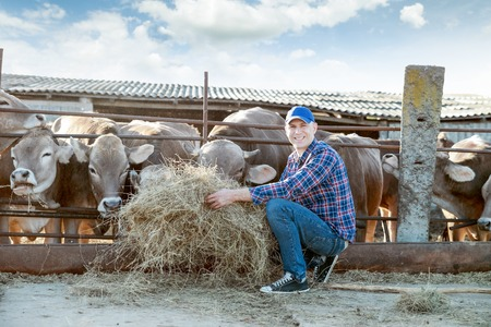 working animals: Farmer is working on the farm with dairy cows