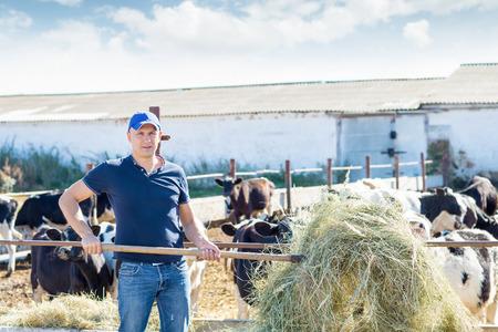 granjero: un agricultor masculina vacas de alimentación heno Foto de archivo