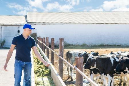dairy: agricultores con alimentación de vacas en la mano en ranchos ganaderos