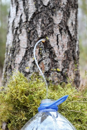 Collecting juice from birch tree on spring Stock Photo