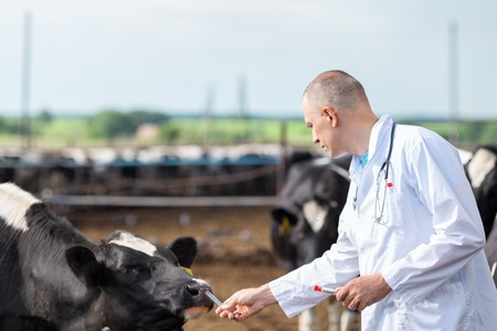 a white robe: veterinarian in a white robe on cattle farm