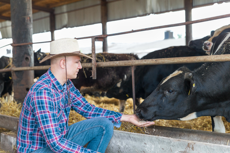 kine: Cowboy and Cows. Portrait of a man on livestock farm. Stock Photo