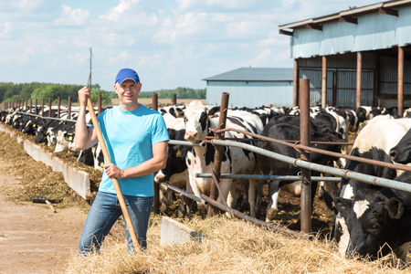 laboring: Farmer is working on farm with dairy cows Stock Photo