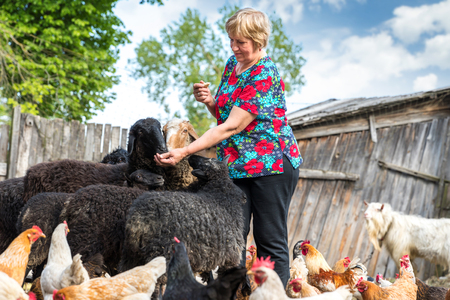 sheepfold: pensioner woman with sheep on farm Stock Photo