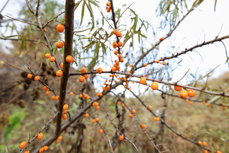 argousier: branch of sea buckthorn berries Banque d'images