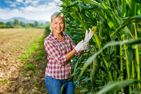 Woman farmer harvesting crop corn in field