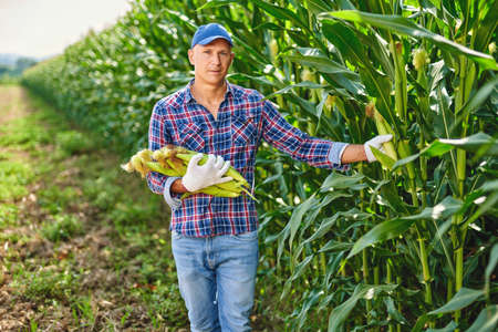 Man farmer with a crop of maize. Stockfoto