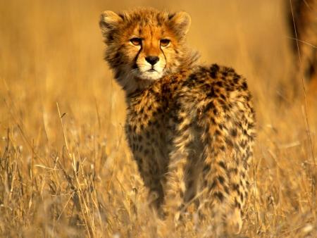 cheetah cub: cheetah cub at sunrise