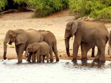 chobe: elephant breeding herd at chobe river Stock Photo