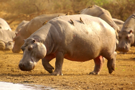 oxpecker: hippopotamus with red-billed oxpecker