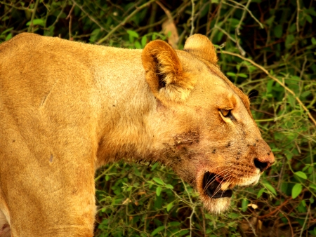 chobe: lioness at chobe river Stock Photo