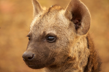 spotted hyaena photo