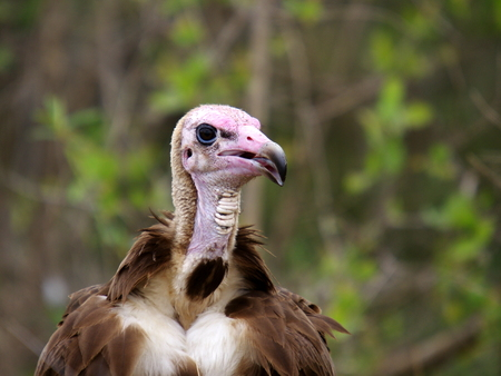 faced: lapet faced vulture Stock Photo
