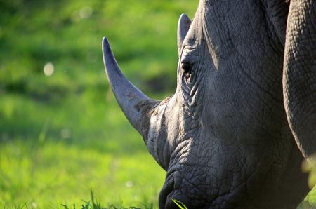 white rhino photo