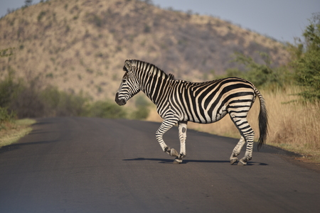 burchell: burchell zebra crossing a road