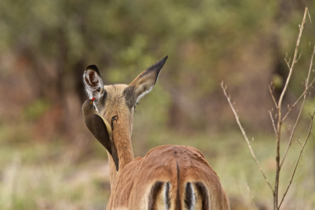 oxpecker: red-billed oxpecker collecting fur from an impala