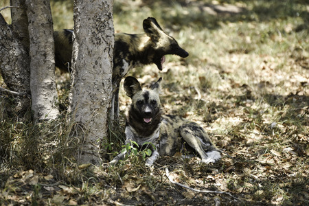 under a tree: wild dogs relaxing under a tree Stock Photo