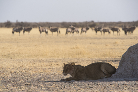 waterhole: lioness at a waterhole
