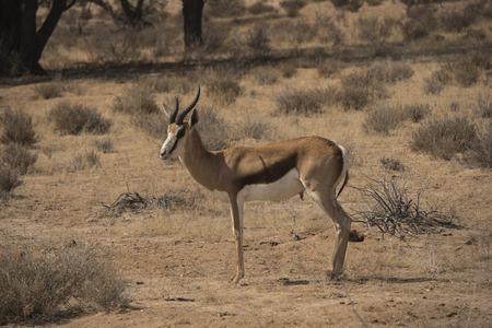 springbok: springbok in the Kalahari