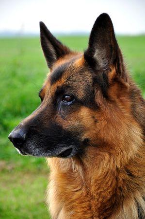 German Shepherd - Deutscher  photo