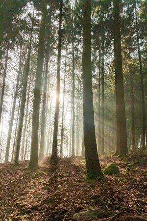 Koniferen in einem deutschen Wald. Die ersten Sonnenstrahlen des Tages scheinen durch den Winternebel. Standard-Bild