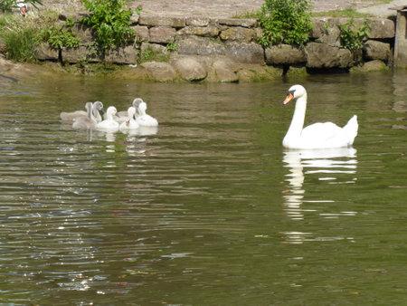 Mute swan (Cygnus olor) with six hatchlings on river Neckar in Germany