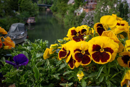 Spring flowers - garden pansy (Viola wittrockiana) - on a bridge overlooking a small river and mountains in southern Germany Standard-Bild