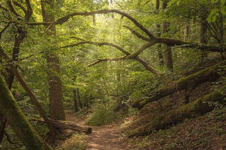 Dreamy forest scene with hiking trail in a German forest in Hunsrück Standard-Bild