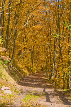 Deciduous forest with beeches in Germany with colored autumn leaves Standard-Bild